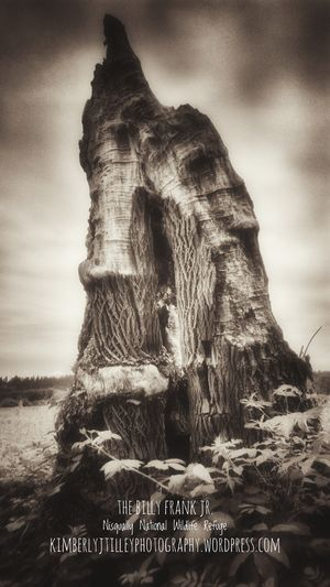 The interesting remains of a fallen tree. This photograph was taken at the Billy Frank Jr. Nisqually National Wildlife Refuge, located in Washington. KimberlyJTilley Nature Outdoors Trees