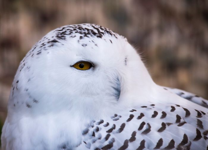 Bird Animals In The Wild Animal Themes One Animal Animal Wildlife White Color Day Focus On Foreground Close-up Outdoors Nature No People Bird Of Prey Portrait Looking At Camera Beak