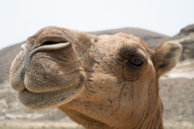Portrait of a camel Exotic Oman Travel Adventure Animal Body Part Animal Head  Arabic Camel Domestic Animals Nature One Animal Outdoors Portrait Sad Sceptical Watching