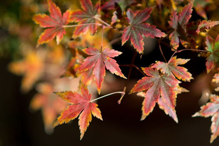 Acer Palmatum Red Leaves Acer Palmatum Autumn Beauty In Nature Branch Change Close-up Day Focus On Foreground Fragility Growth Leaf Leaves Maple Maple Leaf Maple Tree Nature No People Orange Color Outdoors Scenics Tranquility Tree