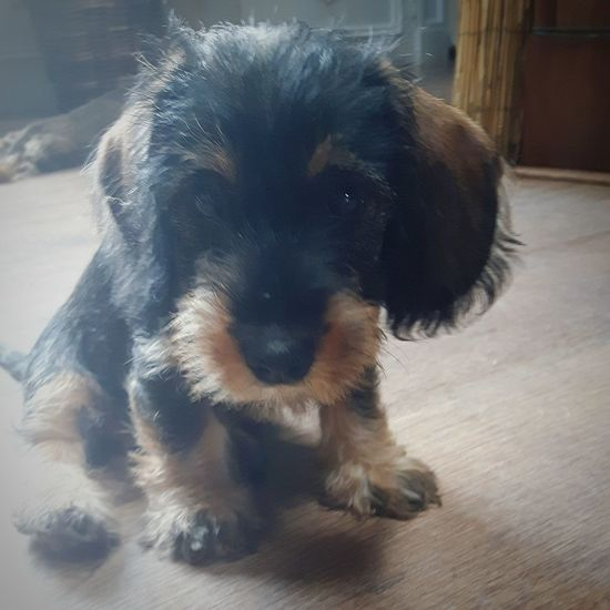 Mi11ie Dachshundsofinstagram Dachshundlovers Dachschund Puppy