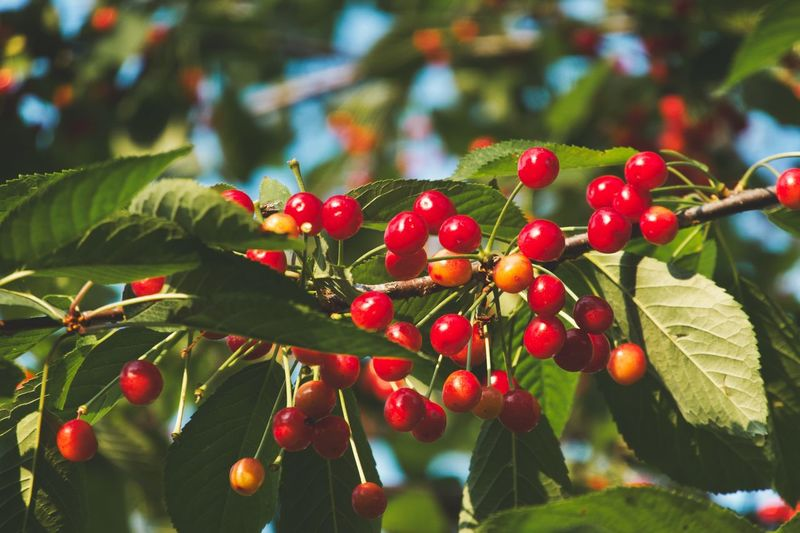 Cherries Cherry Tree Organic Food Plant Part Leaf Red Growth Plant Fruit Close-up Freshness Food And Drink No People Nature Focus On Foreground Berry Fruit Beauty In Nature Day Branch Healthy Eating Food Green Color Tree
