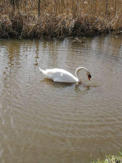 Swan Water Lake Bird Nature Swan Swimming No People