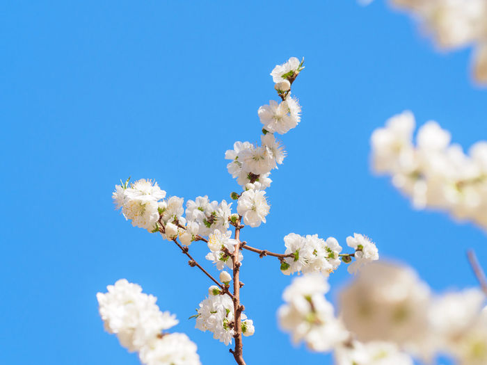 Low angle view of white flowering plant against clear blue sky