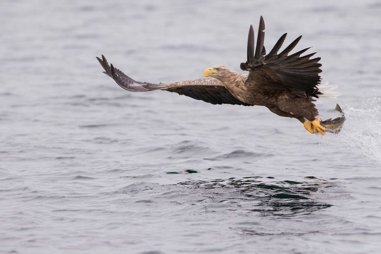 White tailed eagle. White Tailed Eagle Bird Of Prey Bird Only_raptors Spread Wings Nature Nature Photography Nature_collection Naturelovers Flying Bird Photography Nuts_about_birds Norsknatur Norge Norway Birds Of EyeEm  Birds In Flight Birdfreaks Birds Wildlife First Eyeem Photo