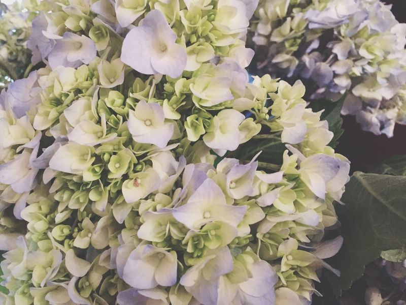Flowers Flower Flower Collection Hydrangea гортензия цветы Hortensia Best Flower Photo Blue Nature Nature_collection