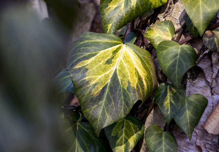Winter leaves Close-up Day Fruit Green And Yellow Leaves Green Color Growth Leaf No People Outdoors Plant