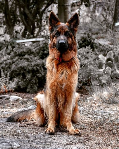EyeEm Selects Dog German Shepherd Pets Ear Domestic Animals Beauty Portrait Purebred Dog Looking At Camera Outdoors Day Animal Themes No People Mammal