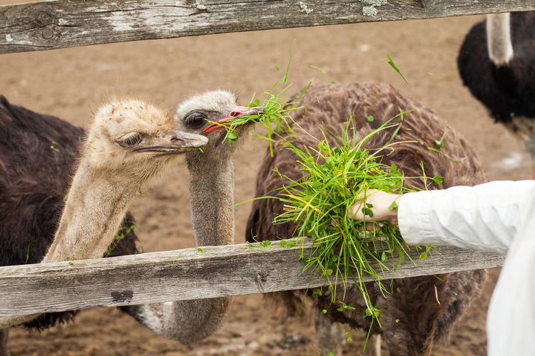 Close-Up Of Hand Feeding Ostrich