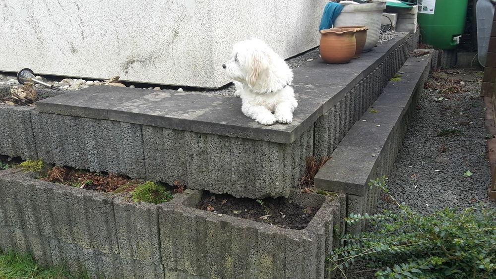 The King of the garden👑🐶I LOVE DOG EyeEm Gallery Chilling Dog Sweet♡ King Eye Maltese Cute♡ A Dogs Life Soo Cute😍 Beautiful ❤😍 White Dog Dog Sooo Cute😍