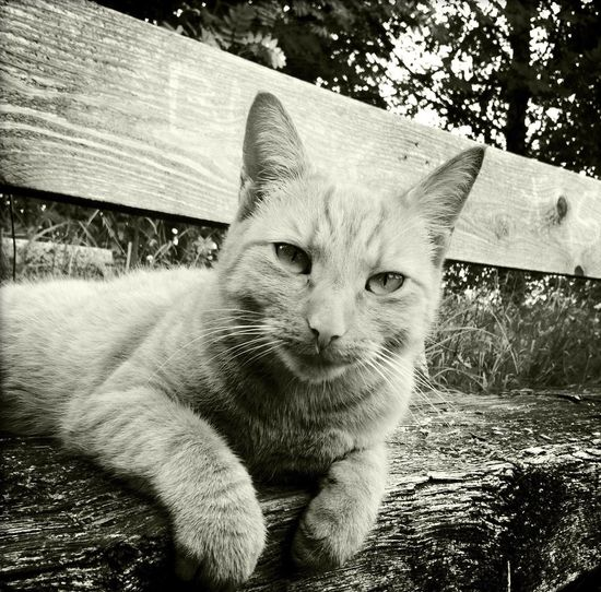 Katze auf einer Bank / cat on a bench Bayern Germany Katze Schwarzweiß Black And White Cat Domestic Animals Domestic Pets Domestic Cat Animal Themes Feline Cat Domestic Animals Domestic Pets Domestic Cat Animal Themes Feline