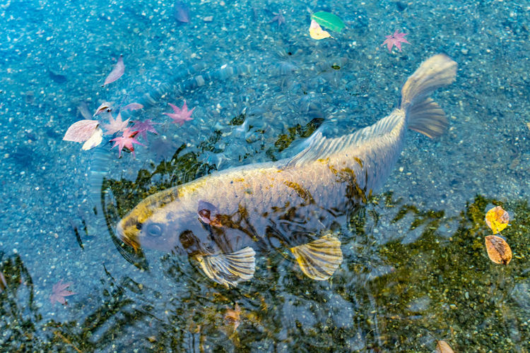 High angle view of golden carp swimming in pond during autumn
