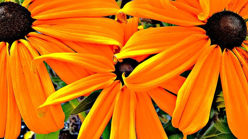 Flower Orange Color Petal Nature Beauty In Nature Fragility Flower Head Freshness Growth No People Outdoors Blooming Day Close-up Black-eyed Susan From My Point Of View NewToEyeEm Flower Collection Full Frame