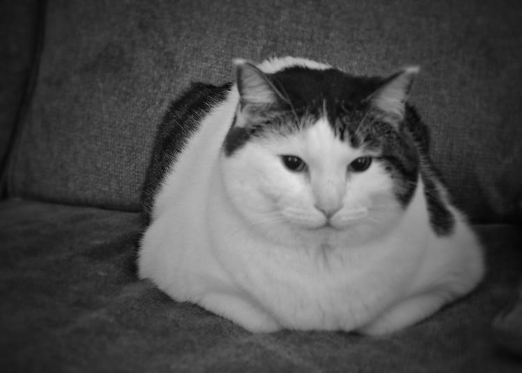 Animal Themes Black And White Cat Comfortable Domestic Cat Fat Cat Feline Kitty Loaf Looking At Camera One Animal Pets Portrait Relaxation Relaxing I ❤ Cat