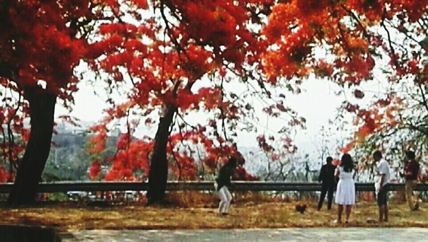 凤凰树系列10 Tree Autumn Leaf Branch Tree Trunk Sky Grass
