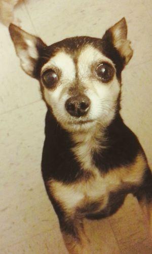 Chihuahuas<3 Chihuahualovers Chihuahua Love ♥ Chihuahua Chihuahuas Chihuahuaoftheday Cute Pets Beggingdog Puppy Face Chihuahuaworld