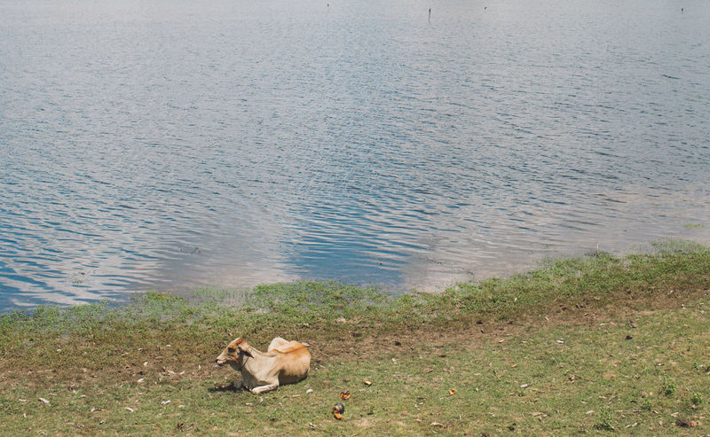 Siem Reap Cambodia Angkor Animal Themes Water Animal One Animal Mammal Domestic Animals Domestic Vertebrate Pets Nature Day Lake Canine Dog No People Grass High Angle View Beach Plant Outdoors