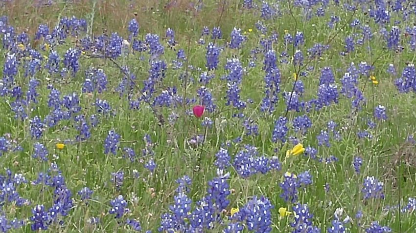 Abundance Backgrounds Beauty In Nature Blooming Bluebonnet Close-up Day Field Flower Flower Head Flowerbed Fragility Freshness Full Frame Grass Green Color Growth Nature No People Outdoors Petal Plant Purple Springtime