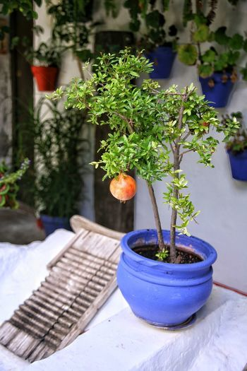 Potted Plant Plant Table Day No People Growth Outdoors Nature Architecture Close-up Freshness Patios De Córdoba