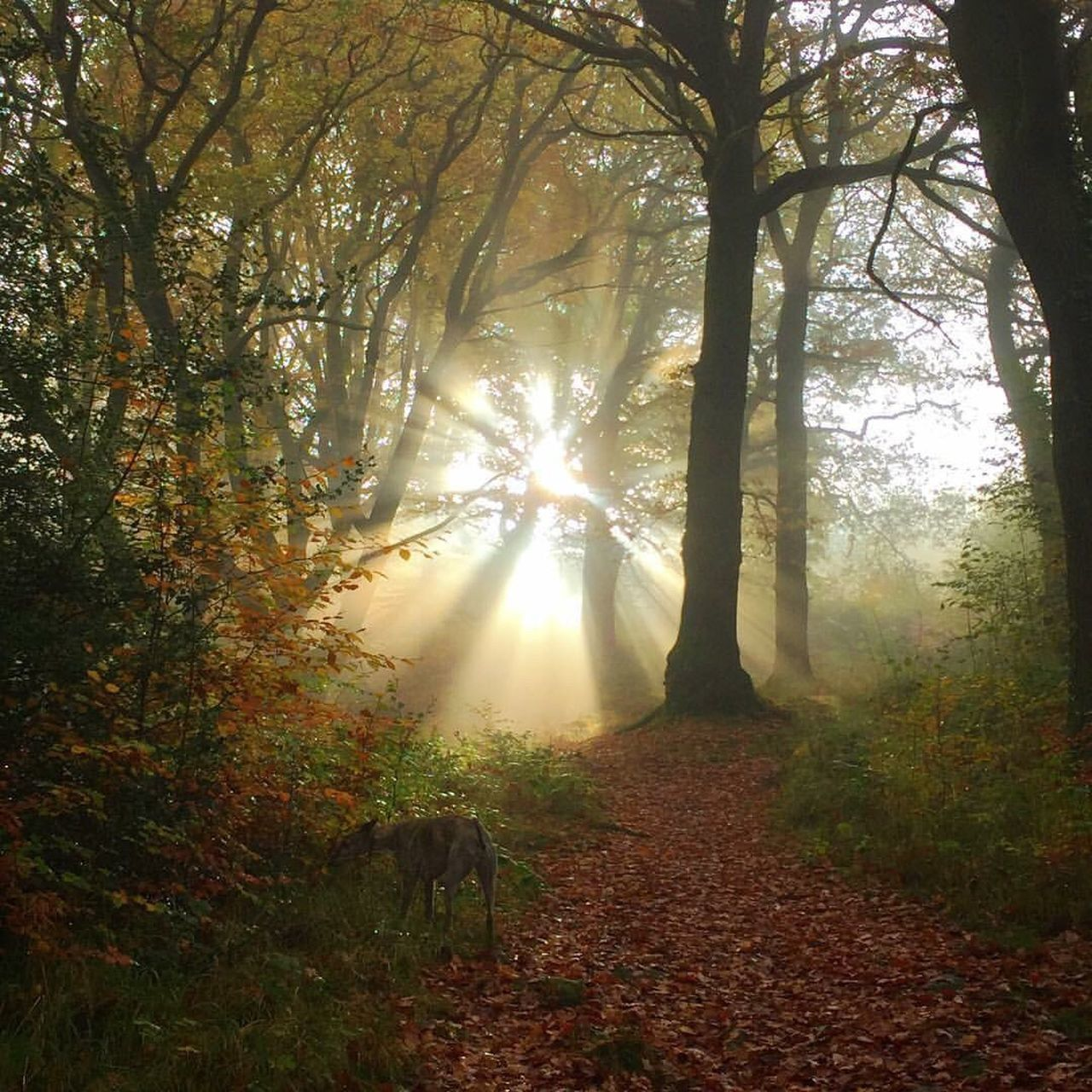 autumn, sunbeam, tree, nature, change, sunlight, tranquility, sun, forest, tranquil scene, beauty in nature, scenics, leaf, lens flare, day, branch, no people, outdoors, fog, growth