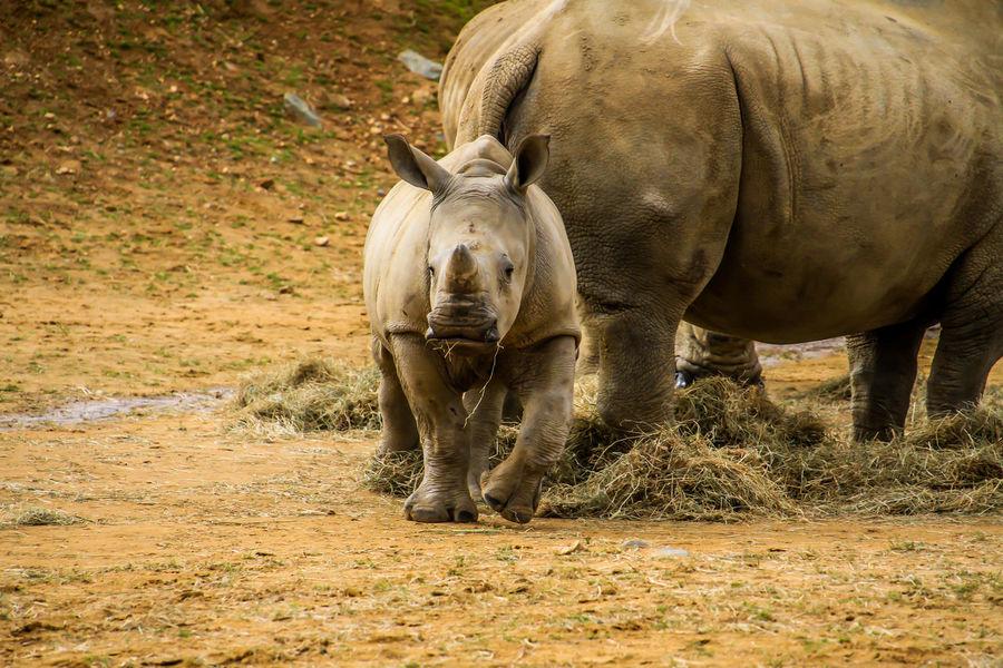 Nature Zoo Animal Animal Photography Animal Themes Animal Wildlife Animals Baby Animals Mammal No People Rhino Rhino Calf Rhinoceros Rhinos Zoo Animals  Zoophotography