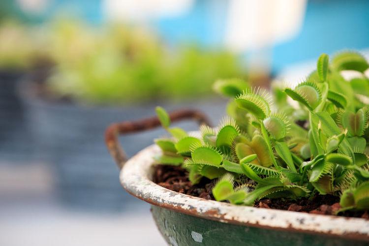 Close-up of venus flytrap plants