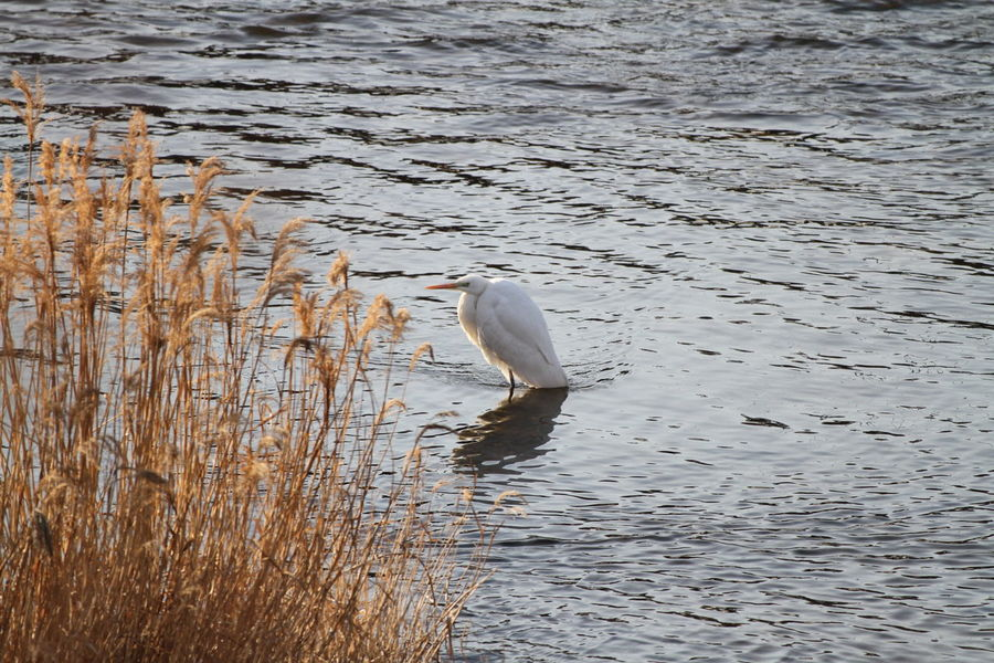 Bird Ardeidae Animals In The Wild One Animal Animal Wildlife Animal Themes Water Swimming No People Nature Sea Life Outdoors Day Sea Mammal UnderSea Heron Great Egret Lake Perching