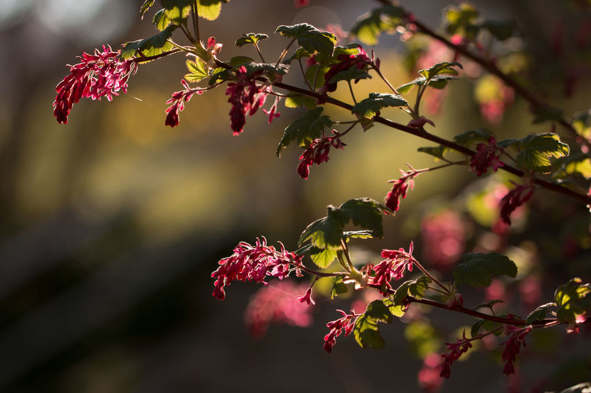 Blossom Botany Branch Close-up Flower Focus On Foreground Growth Leaf Red Flowering Currant Ribes Sanguineum