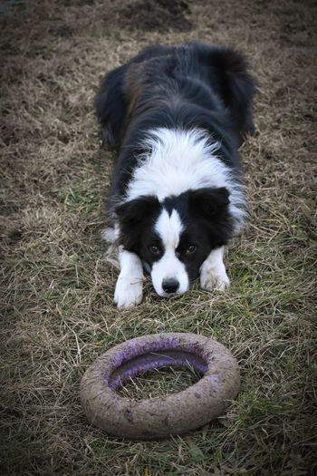Please play with me! Nikon Nikond5600 Nikonphotography EyeEmNewHere EyeEm Selects Shepherd Shepherd Dog Puller Playing Catch Playing Dogs Playing Dog Beggingdog Pets Portrait Dog Border Collie Puppy Cute Happiness Lying Down Looking At Camera Ball Paw