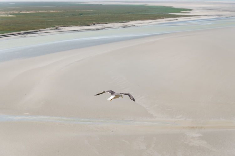 Seagulls flying on the bay of mont saint michel