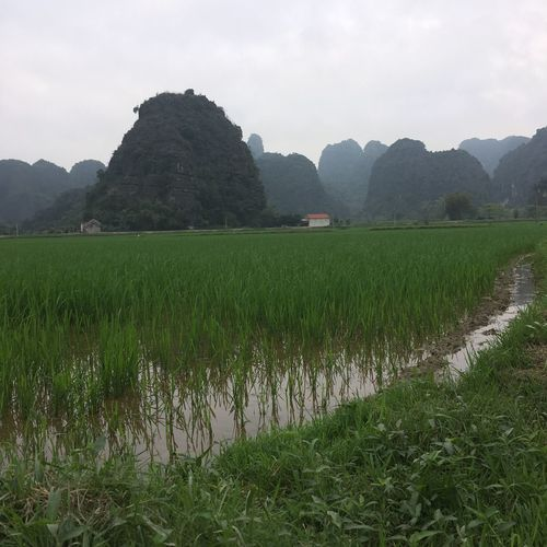 Agriculture Authentic Moments Beauty In Nature Cultivated Land Field Green Color Growth Halong Landscape Mountain Nature Ninhbinh No People Plant Rice Rice - Cereal Plant Rice Paddy Roadtrip Scenics Tamcoc Tranquility Travel Travel Destinations Vietnam Voyage