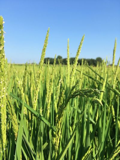 Risaie Rice Field Growth Plant Field Landscape Agriculture Land Green Color Farm Sky Rural Scene Tranquility Beauty In Nature Day Clear Sky Crop  Environment Nature No People Tranquil Scene Cereal Plant