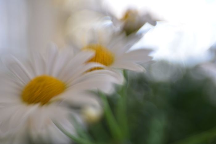 Flower Sunlight Growth Petal Fragility Nature Flower Head Freshness Beauty In Nature Plant No People Blooming Close-up Yellow Day Outdoors
