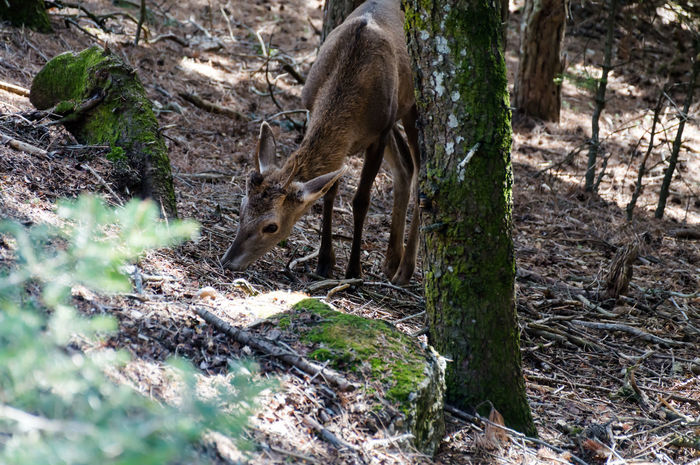 deer.. Animal Themes Animal Wildlife Animals In The Wild Day Deer Forest Greece Mammal Nature No People One Animal Outdoors Parnitha Parnitha Mountain Tree Tree Trunk