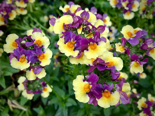 Freshness Growth Natural Beauty Nature Plant Yellow Flower Attractive Beauty In Nature Branch Bunch Bunch Of Flowers Close-up Multi Colored Detail Flower Flower Head Flowers Focus On Foreground Leaves Petal Pollen Scenery Scenics Violet Flowers Double Colors