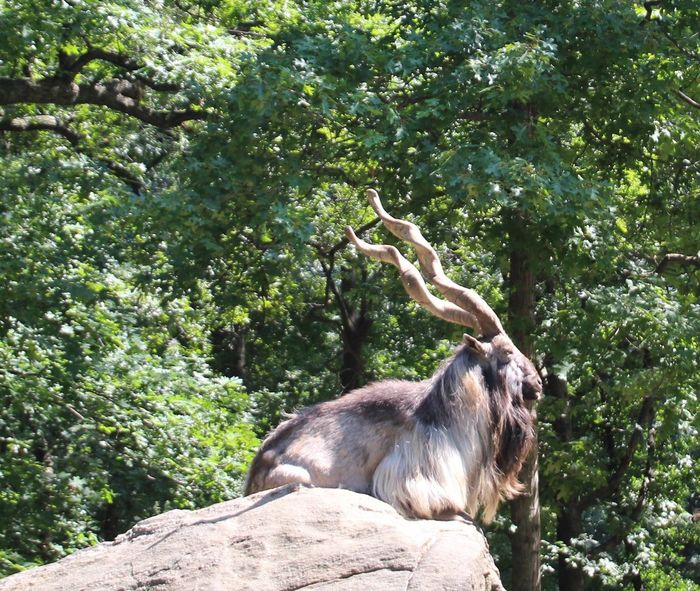 Animal Themes Animals In The Wild One Animal Outdoors Long Horns sitting atop a huge rock Surrounded By Trees
