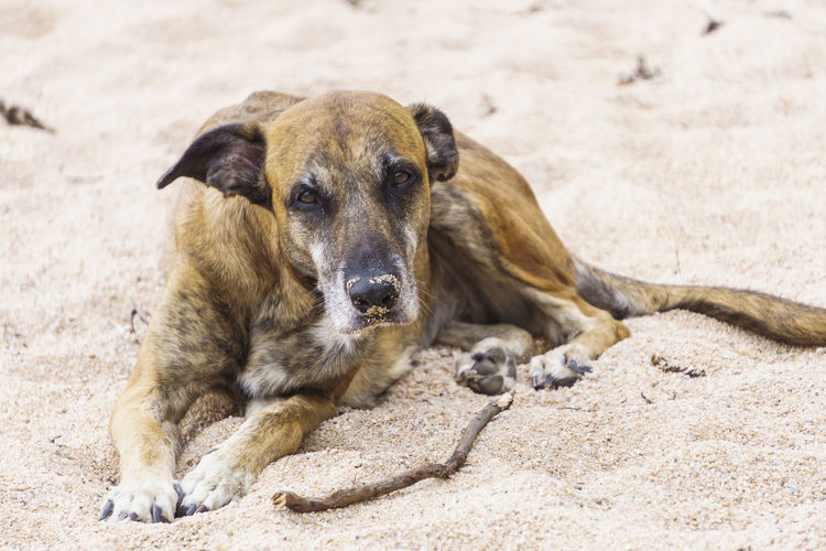 Land Nature Day Outdoors Beach Mammal Animal Animal Themes One Animal Domestic Pets Domestic Animals Vertebrate Sand Relaxation Portrait Dog Canine No People Looking At Camera Focus On Foreground Pet Portraits Petal Dogslife