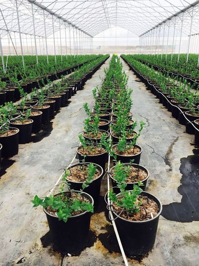 Greenhouse Growth Plant Agriculture Potted Plant Plant Nursery Green Color Plantation Indoors  Nature Day Berries Netafim EyeEmNewHere EyeEmNewHere