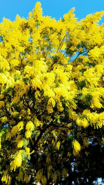 La mimosa di Annapaola Yellow No People Beauty In Nature Growth Low Angle View Vibrant Color Close-up Outdoors Nature Clear Sky Flower Sky Fragility Day Moving Around Rome