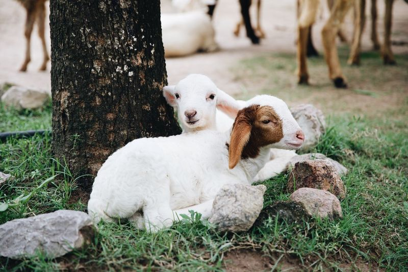 Kid goats by tree trunk