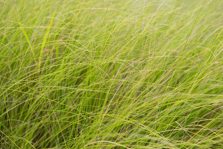 Fountain Grass Agriculture Backgrounds Beauty In Nature Blade Of Grass Close-up Crop  Day Field Fountain Grass Full Frame Grass Green Color Growth Land Landscape Nature No People Outdoors Plant Rural Scene Selective Focus Timothy Grass Tranquility