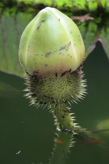 Açores - São Miguel Botany Fragility Freshness Green Color No People Plant Terra Nostra Park Victoria Cruziana