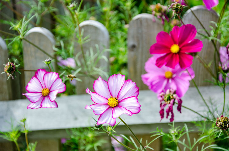 Cosmos Beauty In Nature Close-up Cosmos Bipinnatus Cosmos Flower Day Flower Flower Head Flowering Plant Focus On Foreground Fragility Freshness Growth Inflorescence Nature No People Outdoors Petal Pink Color Plant Pollen Vulnerability