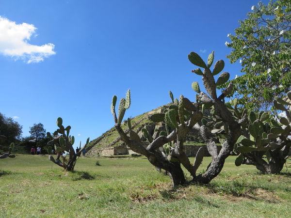 Blue Cactus Canon SX280 Mexico Monte Alban Oaxaca Outdoors Plant Tree