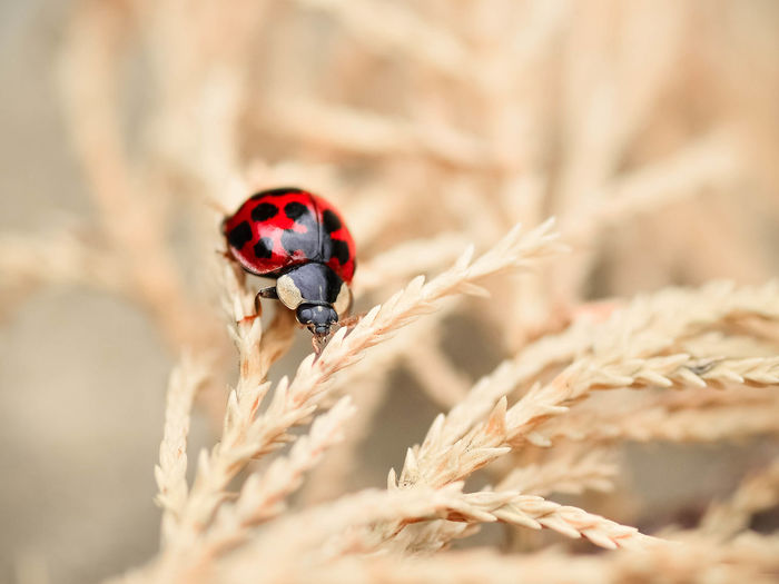 Wandering Ladybug Animal Animal Themes Animal Wildlife Animals Animals In The Wild Beetle Close-up Day Growth Insect Ladybird Ladybug Macro Nature Nikon No People One Animal Outdoors Red Spotted The Week On EyeEm