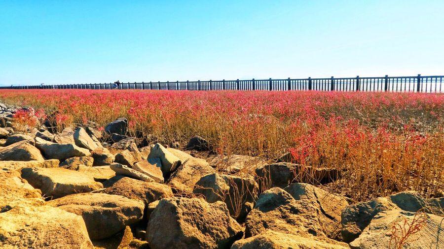 シチメンソウ 干潟よか公園 Clear Sky Day Nature No People Outdoors Plant Autumn Beauty In Nature Built Structure Architecture Sky