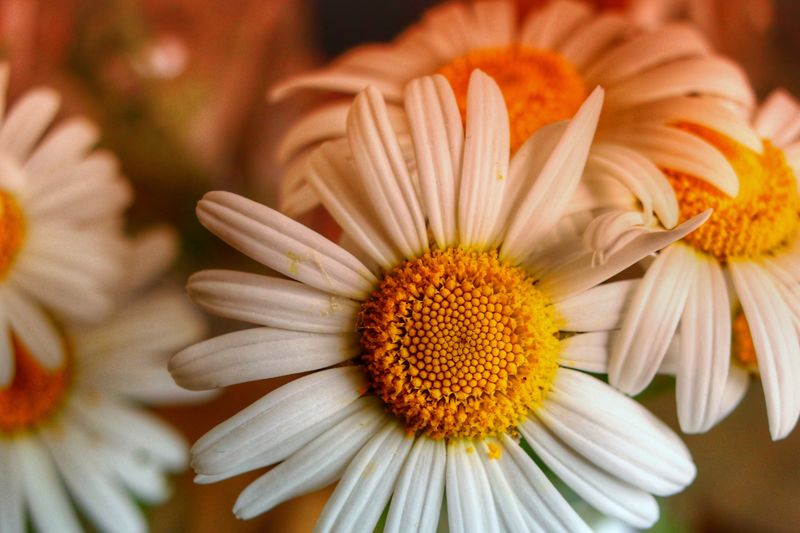 Close-up of daisy flower