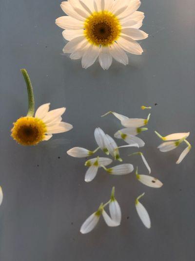 Petal Freshness Flowering Plant Vulnerability  Fragility Nature Flower