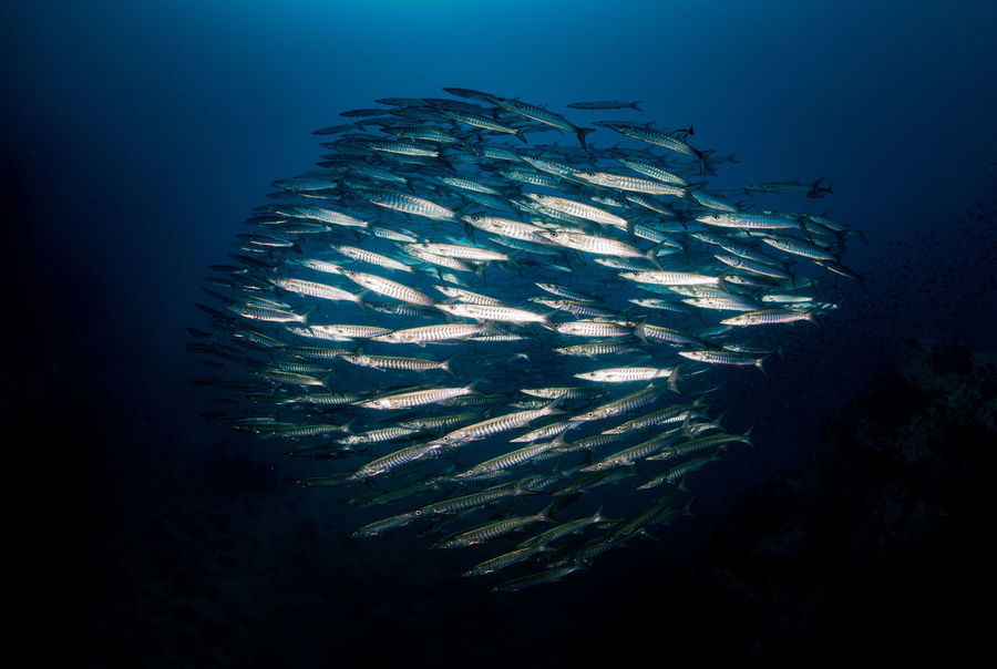 #barracuda #fish #stripes #sunset #sun #clouds #skylovers #sky #nature #beautifulinnature #naturalbeauty #photography #landscape #UNDERWATER #underwater Photography Beauty In Nature Day Fish Nature No People Outdoors Sea Sea Life Swimming UnderSea Underwater