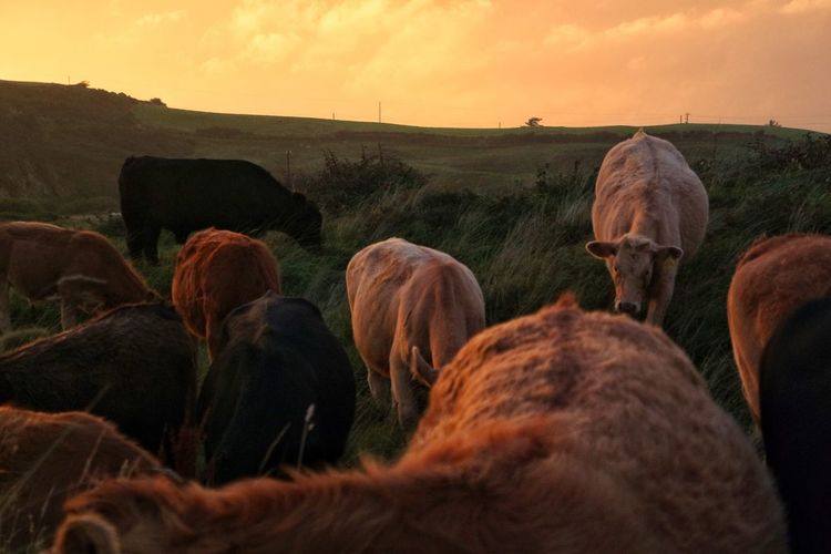 Horses grazing on field against sky at sunset